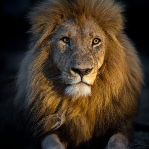 Male lion with big mane lying down