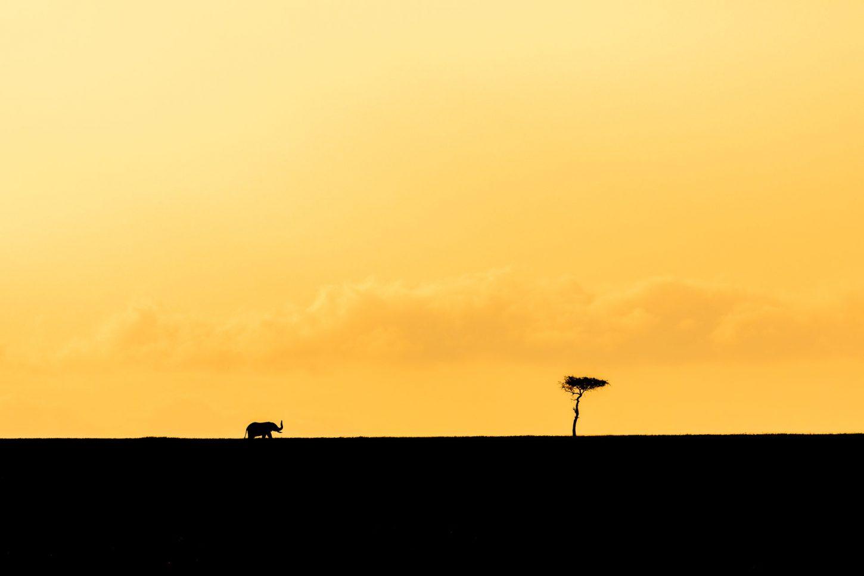 Elephant silhouette against golden sky