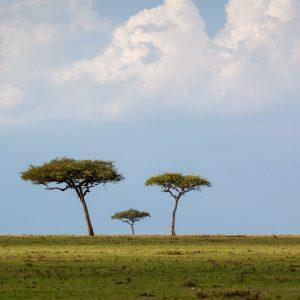 Three trees on an open plain the Maasai Mara