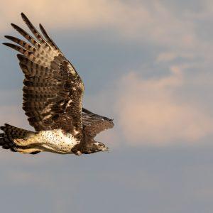 Marshall eagle in flight