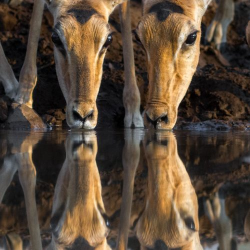 4 impala drinking with reflection in the water