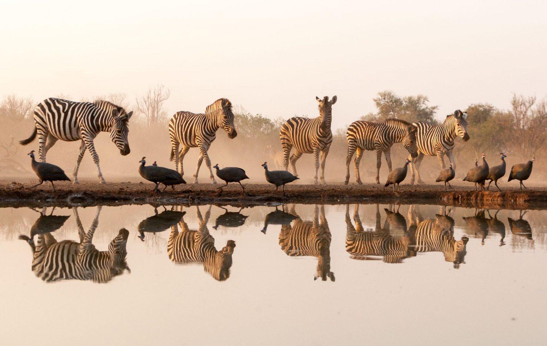 Herd of zebra and flock of guinea fowl reflected in waterhole