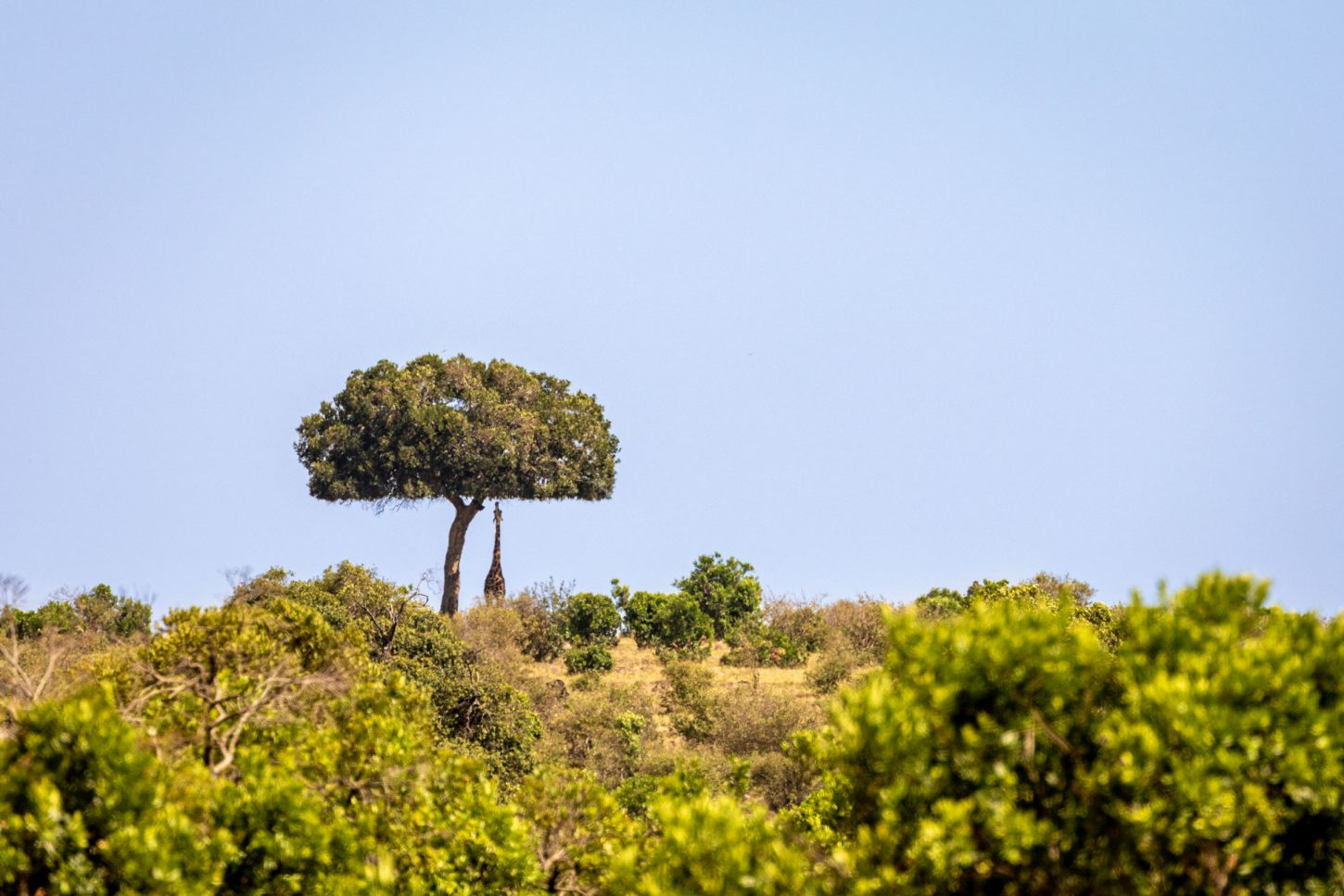 Giraffe reaching up for leaves on tall tree