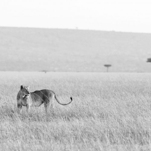 A lioness in long grass in black and white