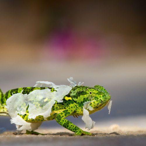Chameleon shedding its skin