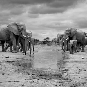 Herd of elephants at a waterhole in black and white