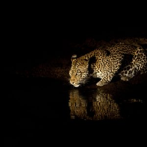 Leopard drinks at night with reflection in water