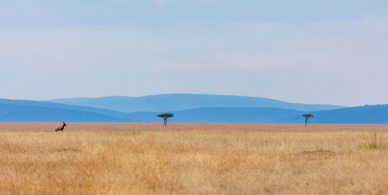 A topi antelope on an open plain in Maasai Mara