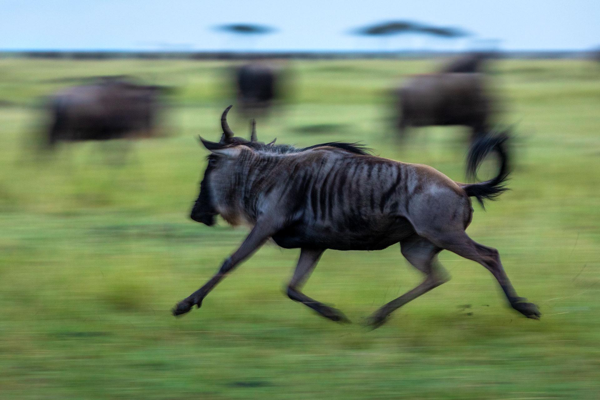 Motion blur of wildebeest running