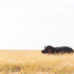Hippo on grassy plain