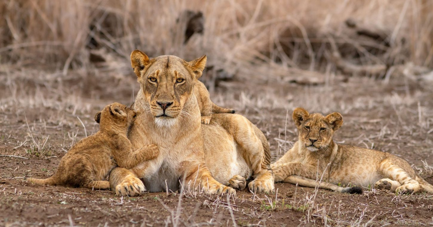 Lion cubs play with their mother