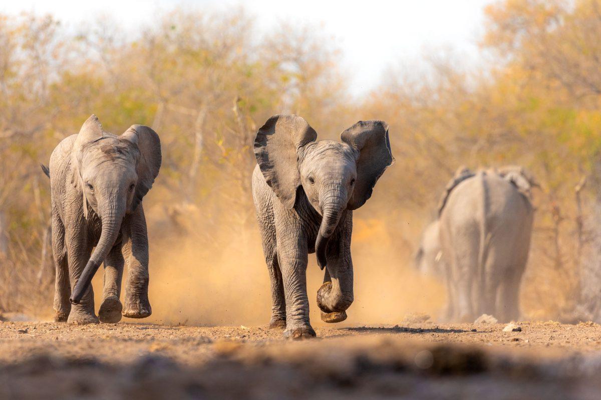 Two elephant calves running through dust