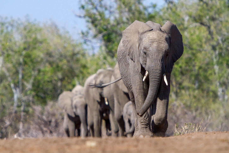 Herd of elephants walking in a line