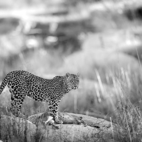 A leopard with a kill on a boulder