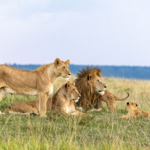 Pride of lions lying down with heads up