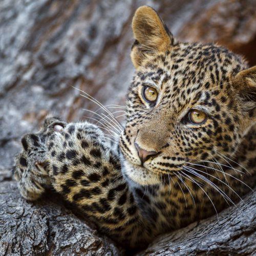Leopard cub in tree looks into camera