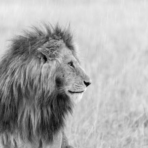 Black and white image of male lion in the rain