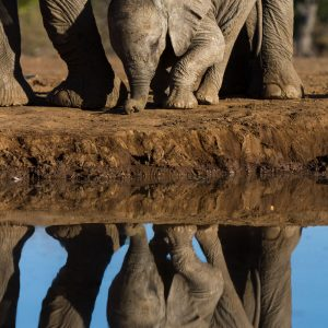 Baby elephant crouching with reflection in water