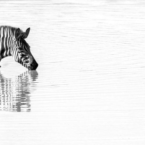 Black and white image of zebra drinking
