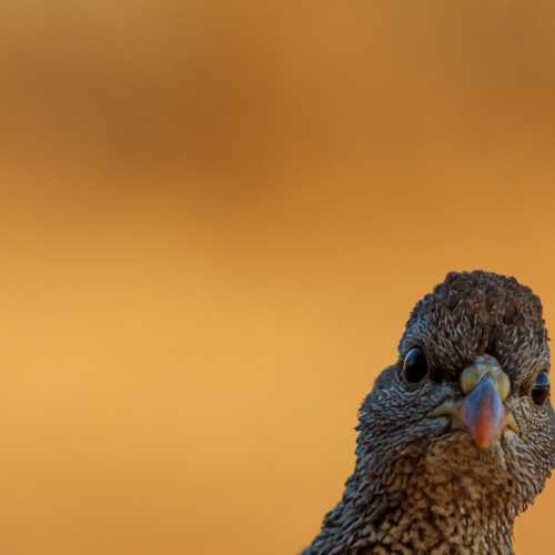 A Natal Spurfowl looks into the camera