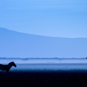 A zebra in blue light with mist at dawn