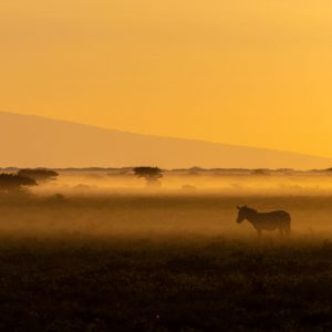 A zebra in golden light with mist in the early morning