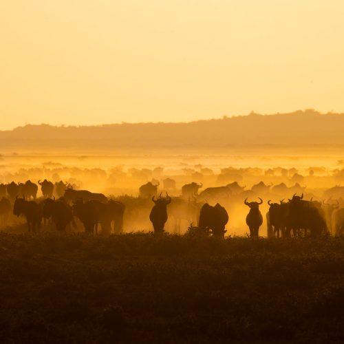 A herd of wildebeest in golden light with clouds of dust