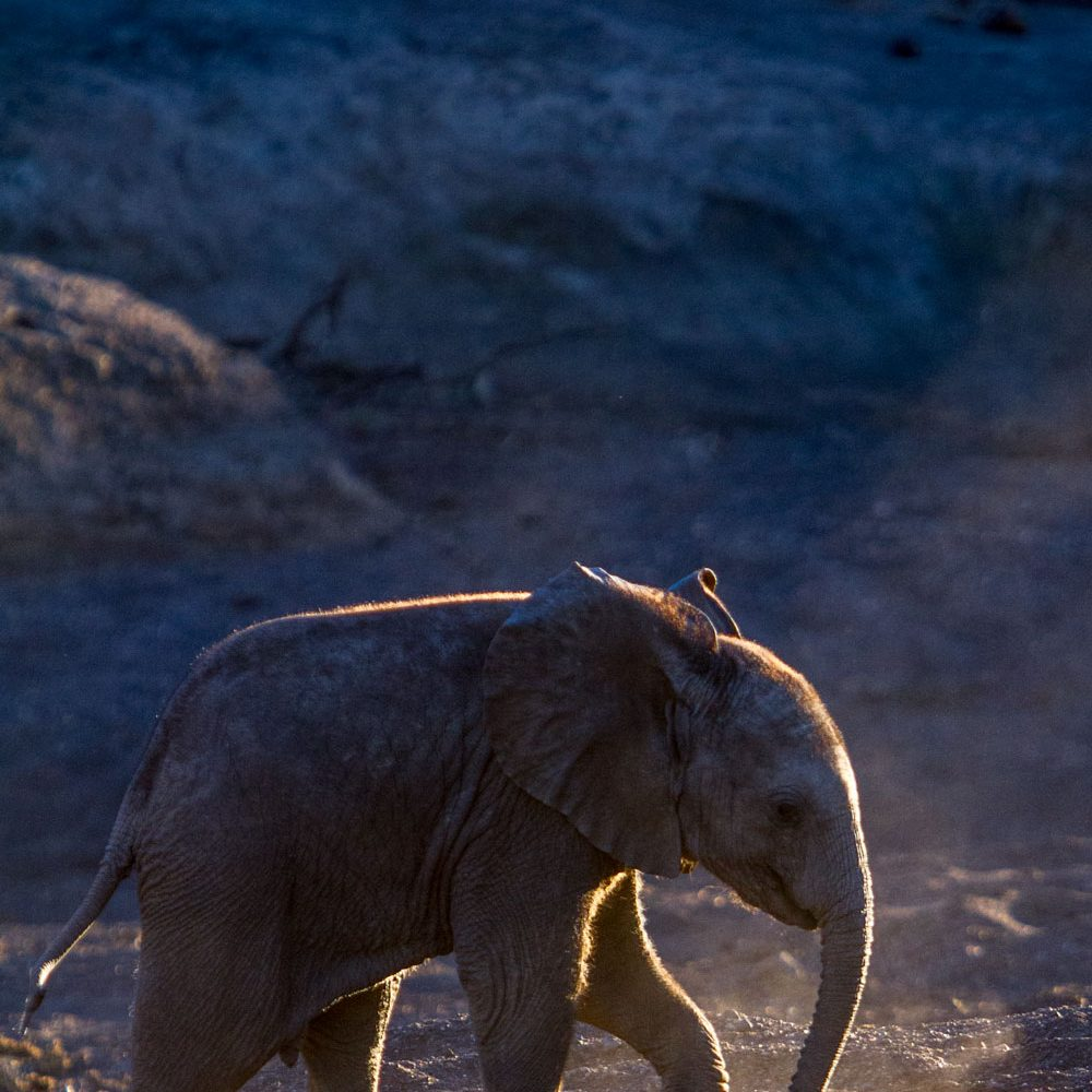 Elephant calf backlit by sun in river bed