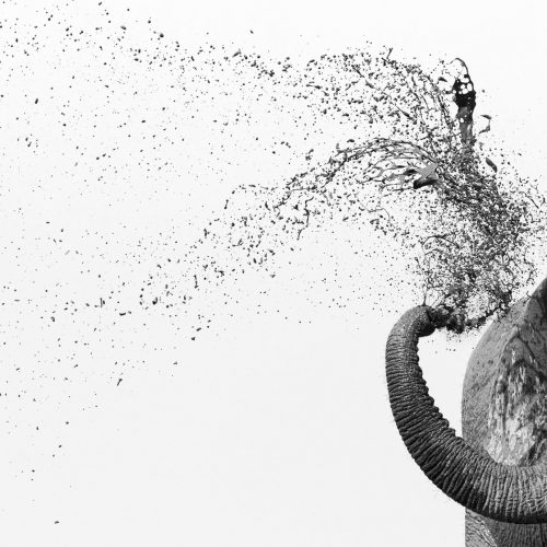 Elephant spraying mud in black and white