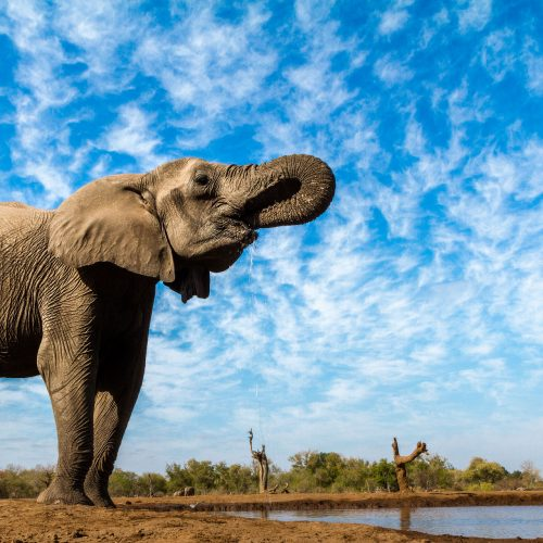 An elephant drink at a waterhole with clouds in blue sky