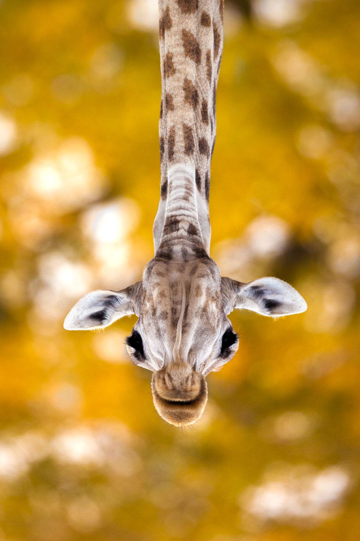 Close up of giraffe head upside down