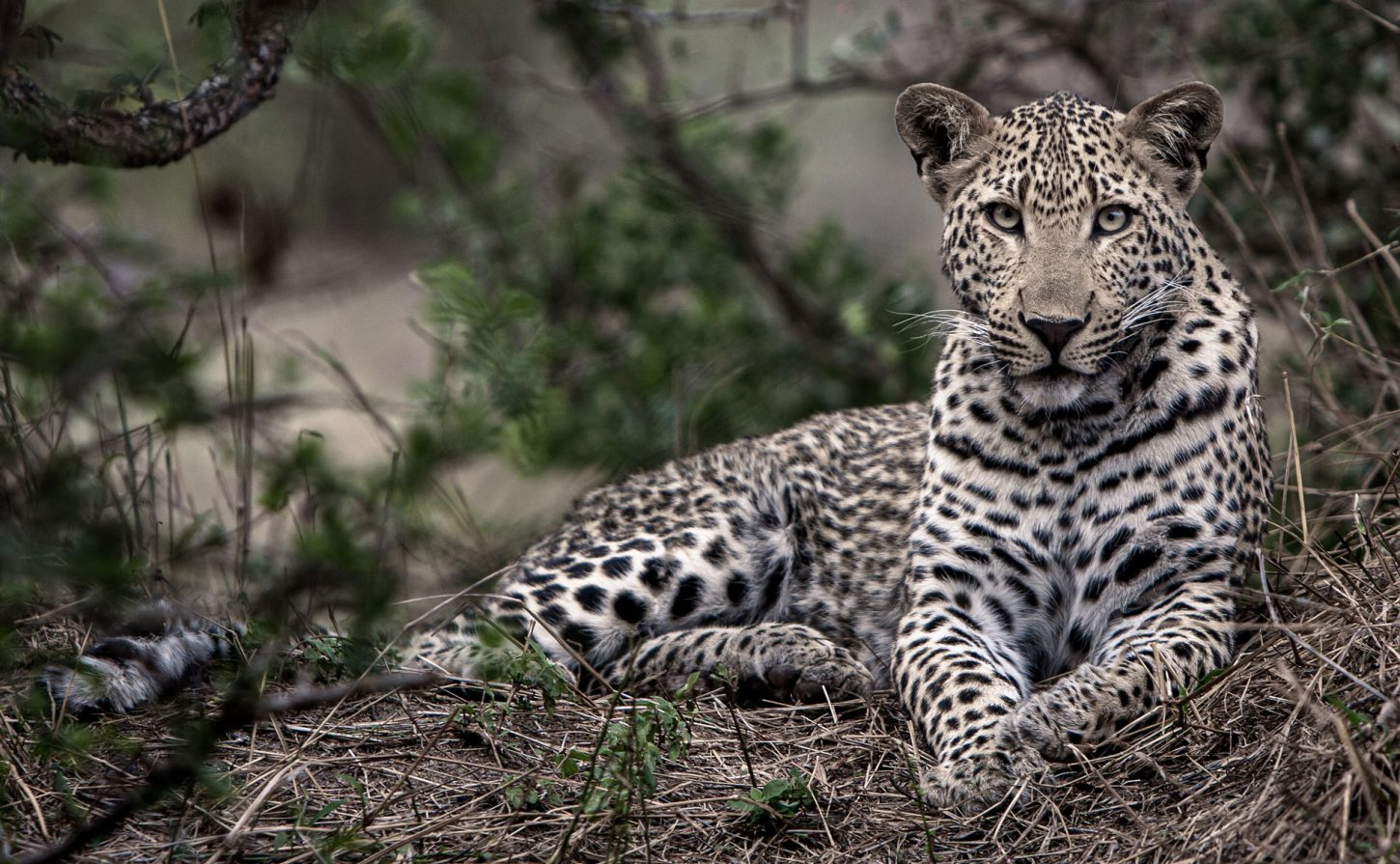 Young male leopard looks straight into the camera