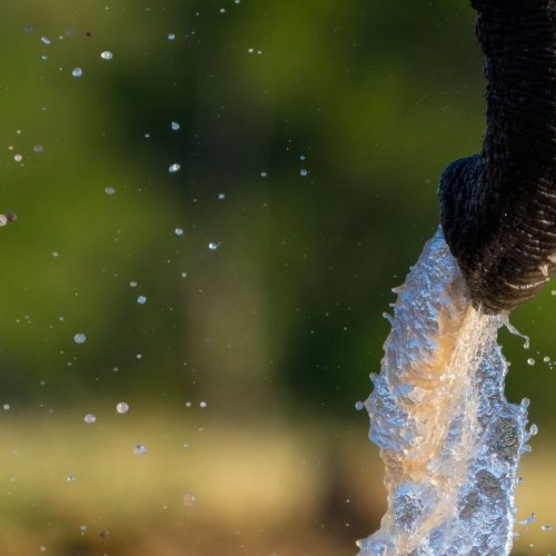 Water sprays from an elephant's trunk