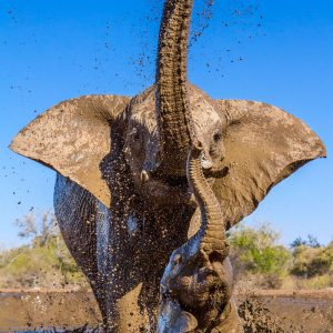 Elephant mother and calf splash and play in a muddy pool