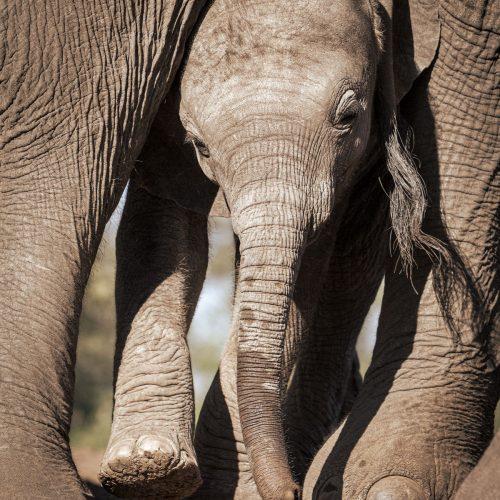 Elephant calf squeezes between legs of adult elephant