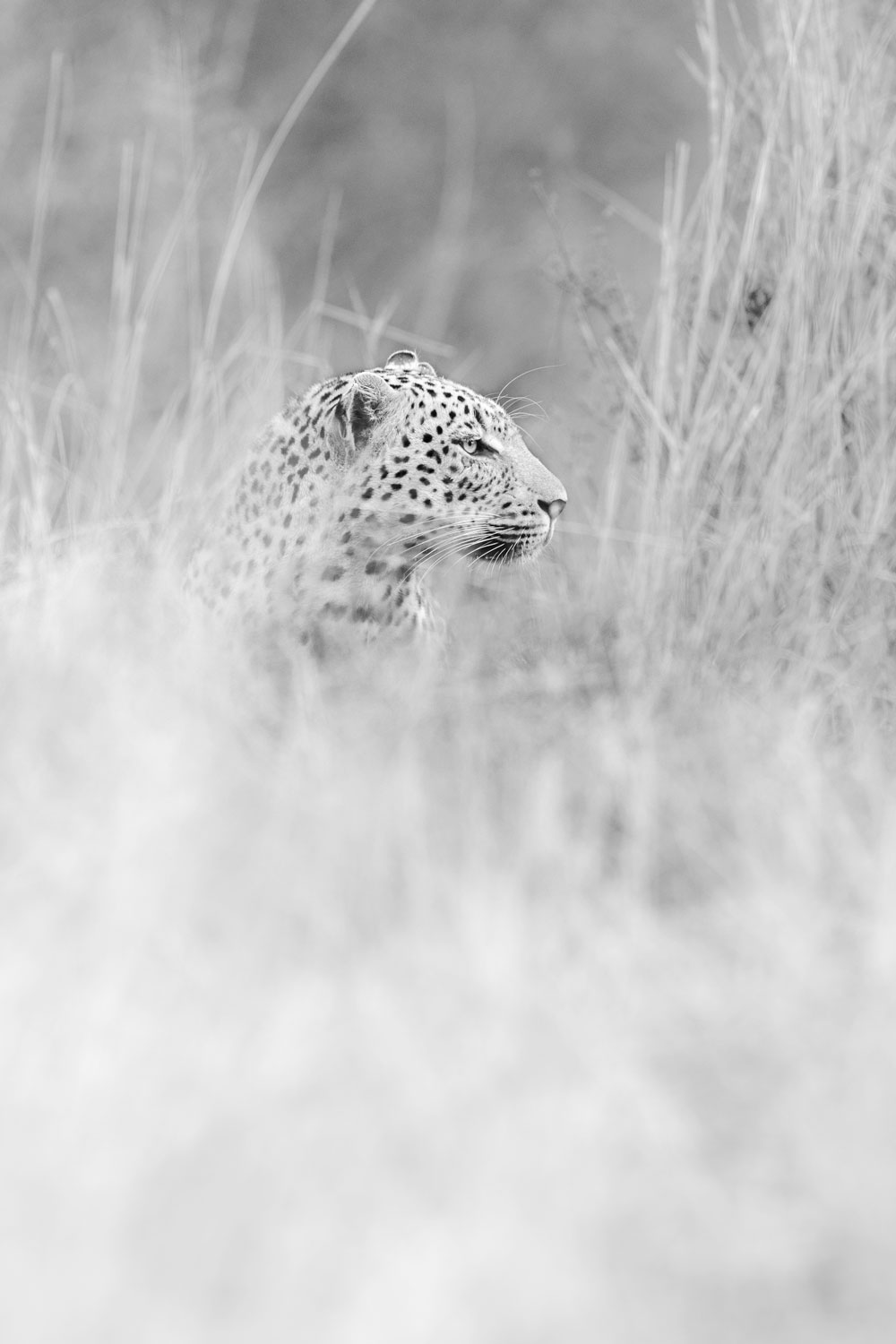 A leopard through long grass in black and white