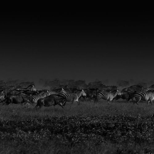 Zebra stamped in low light