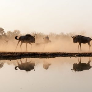 2 Wildebeest facing eachother reflected in a waterhole
