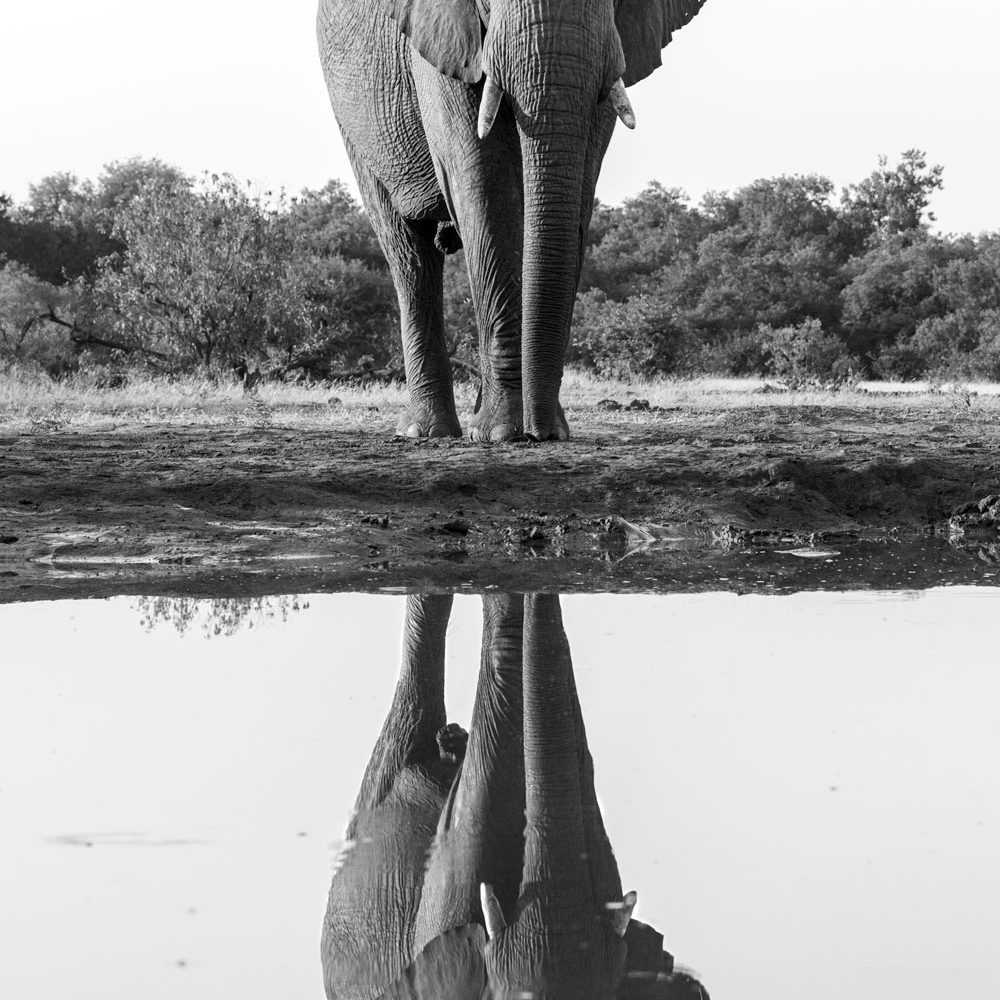 Bull elephant and reflection in black and white