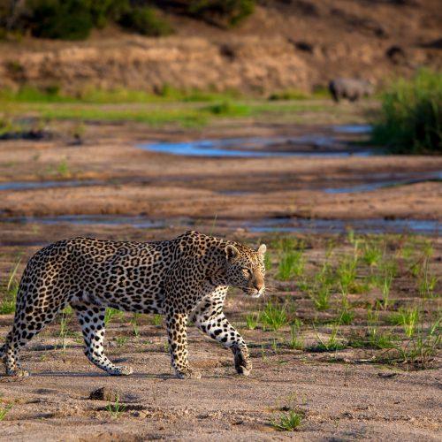 A leopard walks across a river bed