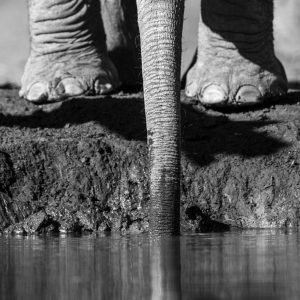 Elephant calf stretches trunk to drink water