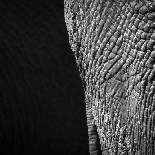 Black and white close up of rough elephant skin covered in mud