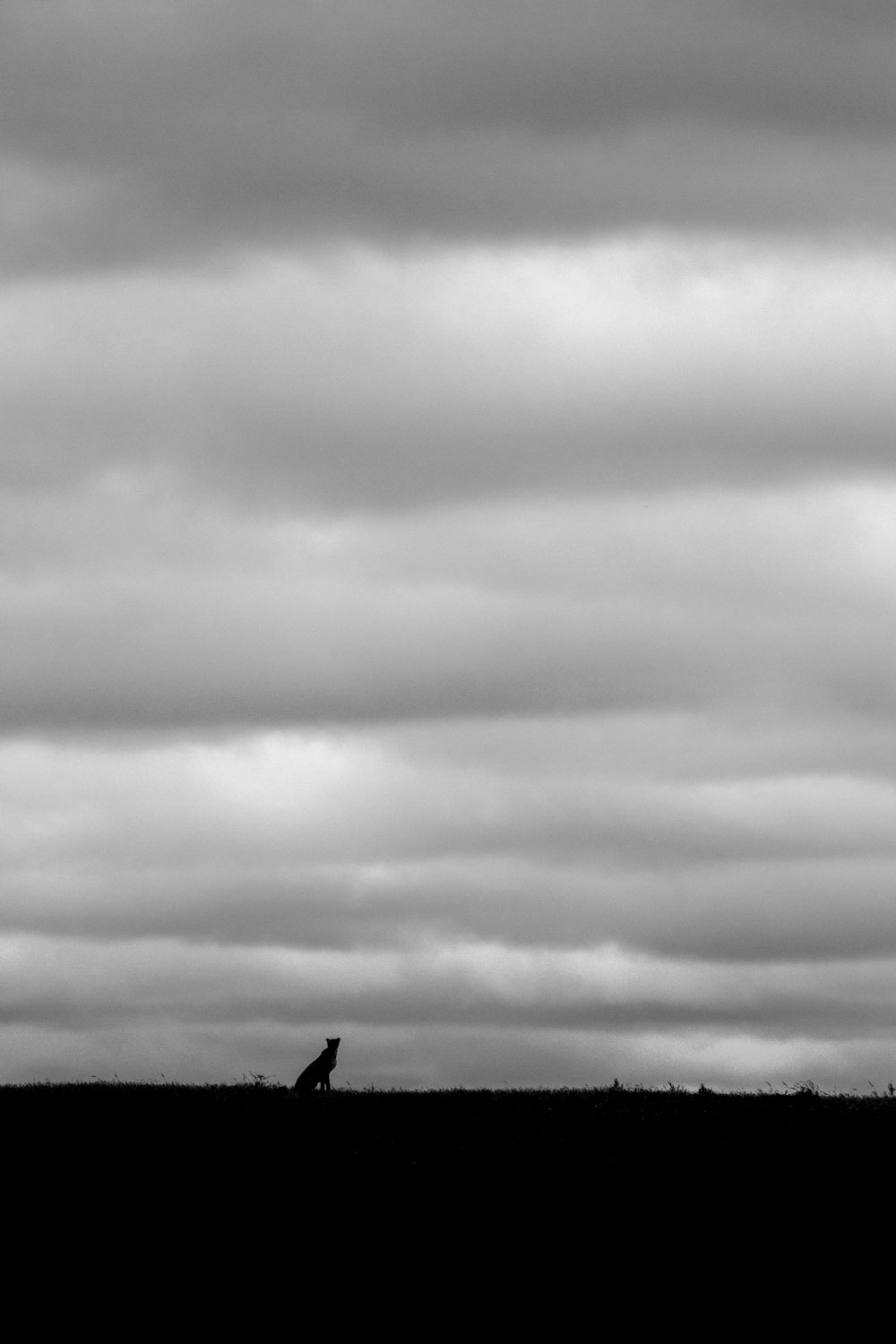 Silhouette of cheetah against cloudy sky in black and white