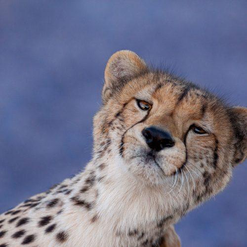 Cheetah enjoying a scratch