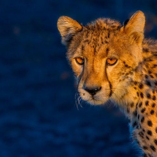 Cheetah in golden light with dark blue background