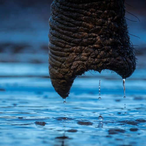 Water dripping from an elephant's trunk