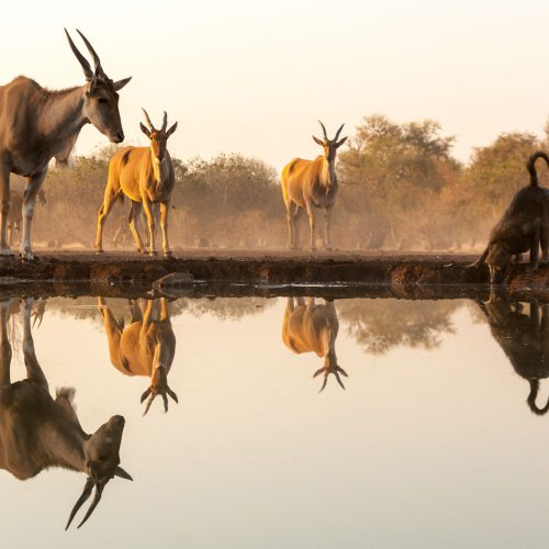 Eland and a baboon reflected in a waterhole