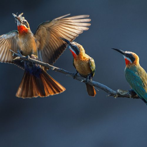 A white fronted bee eater lands on a perch with 2 others watching