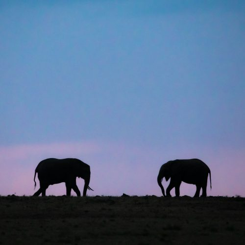 Silhouette of two young elephants against blue sky