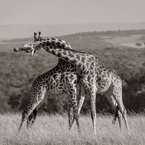 Two giraffe fighting have their necks twisted around each other